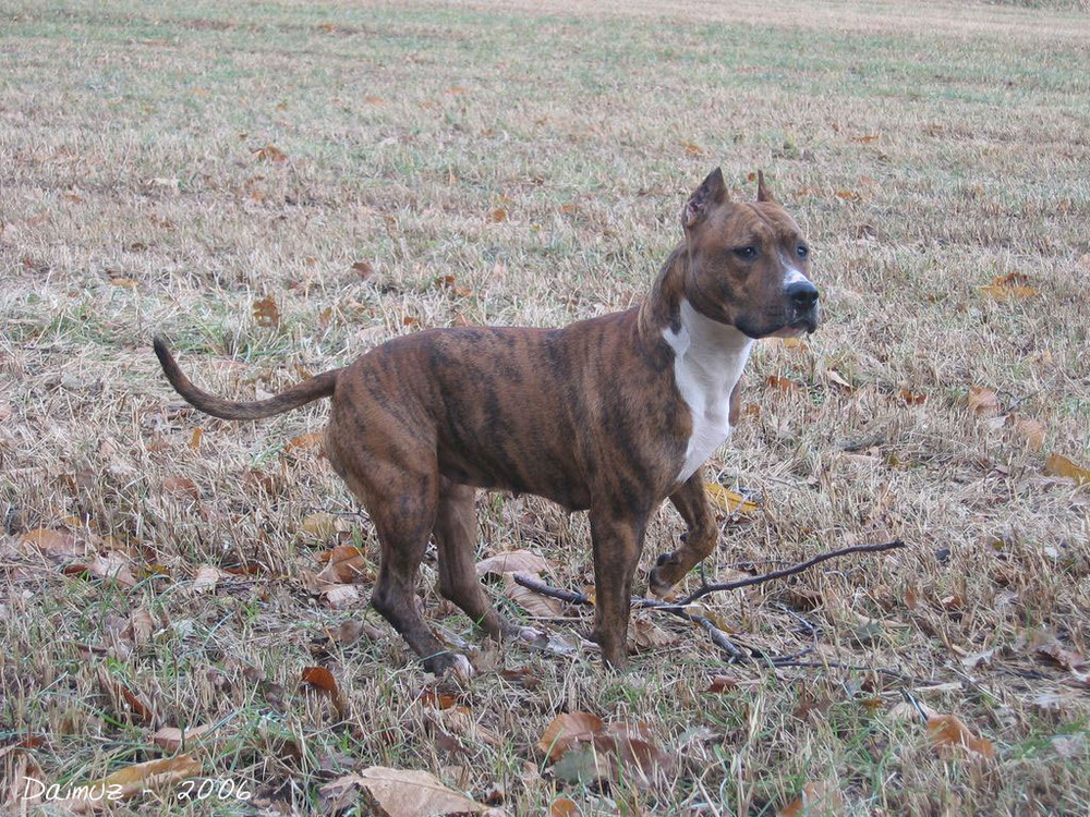 ::°:: American Staffordshire Terrier ::°::