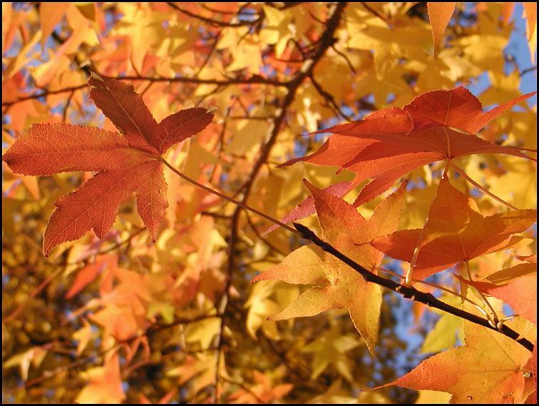 Amerik. Amberbaum-Herbstblätter