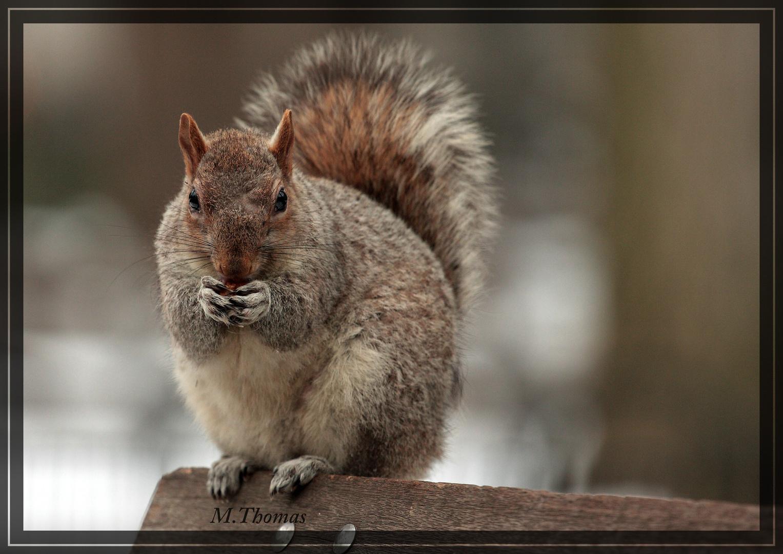 Amerikanische Eichhörnchen