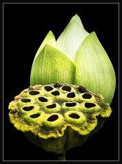 Amerikanische Lotosblüte