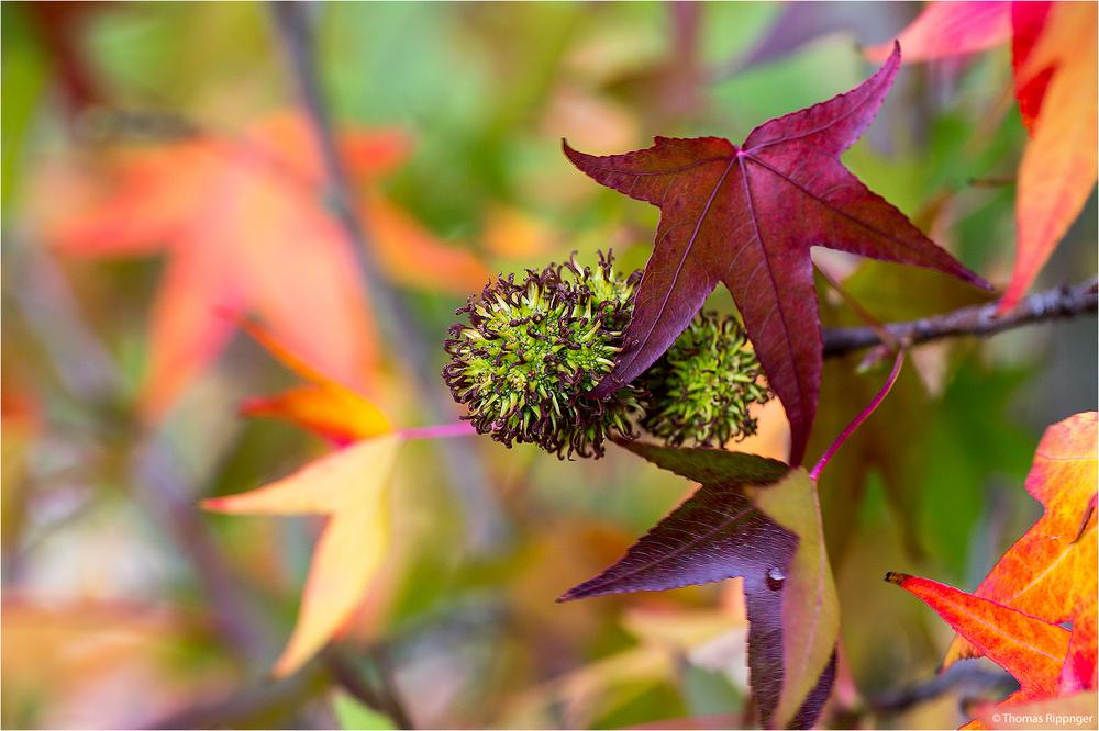 Amerikanischer Amberbaum (Liquidambar styraciflua).