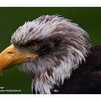 Amerikanischer Weißkopfadler - Farbig