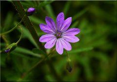 Amethyst unter den Wiesenblumen