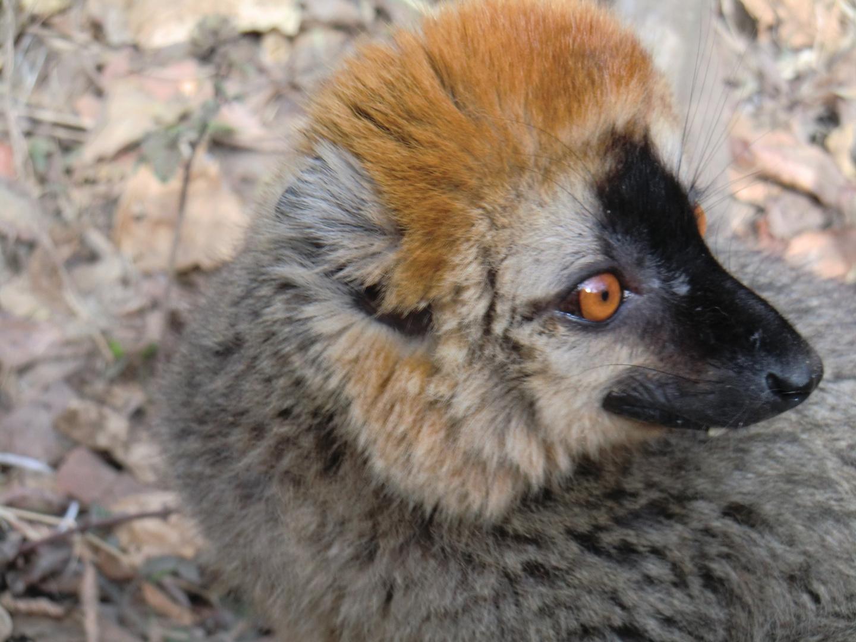 Amico lemure