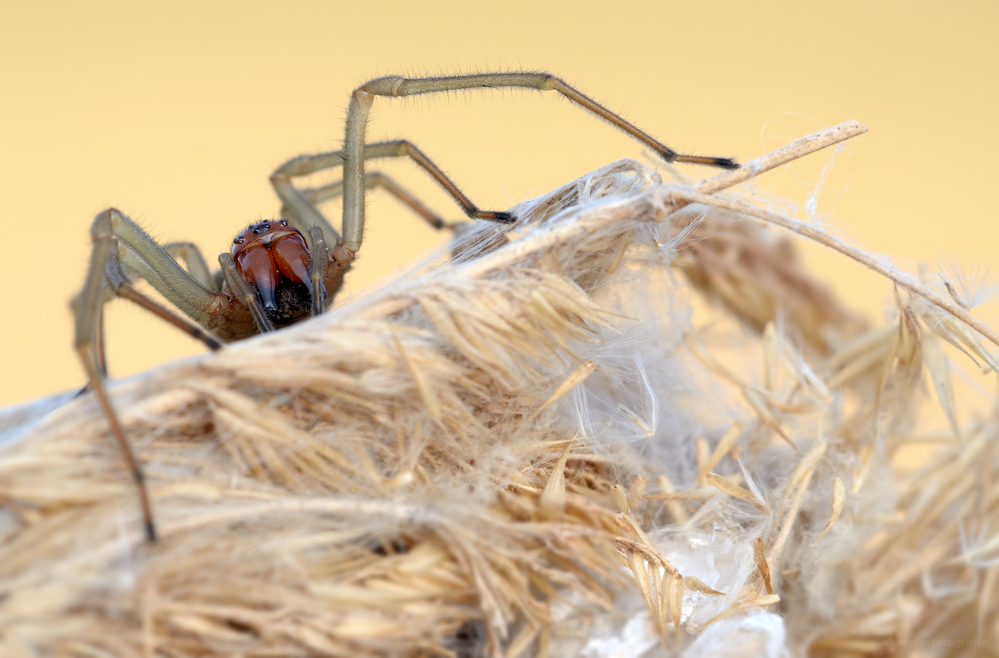 Ammen-Dornfinger (Cheiracanthium punctorium)