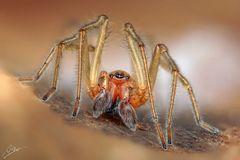 Ammen-Dornfinger Männchen (Cheiracanthium punctorium)