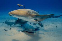 Ammenhaie in Begleitung...