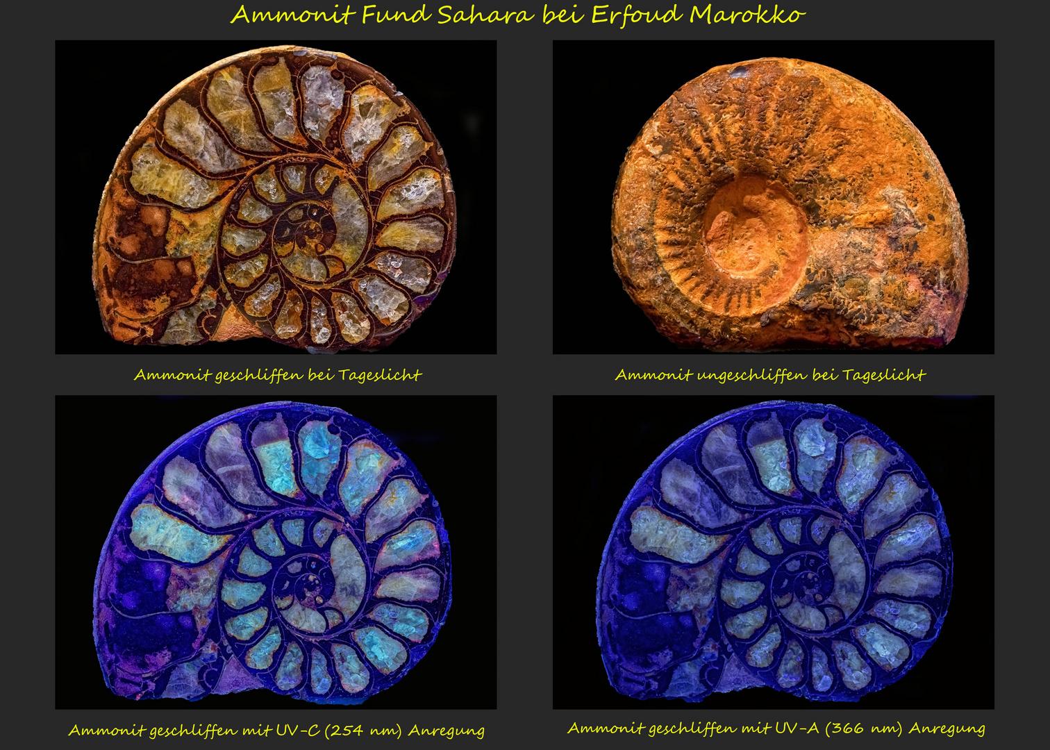 Ammonit aus der Sahara bei Erfoud in Marokko