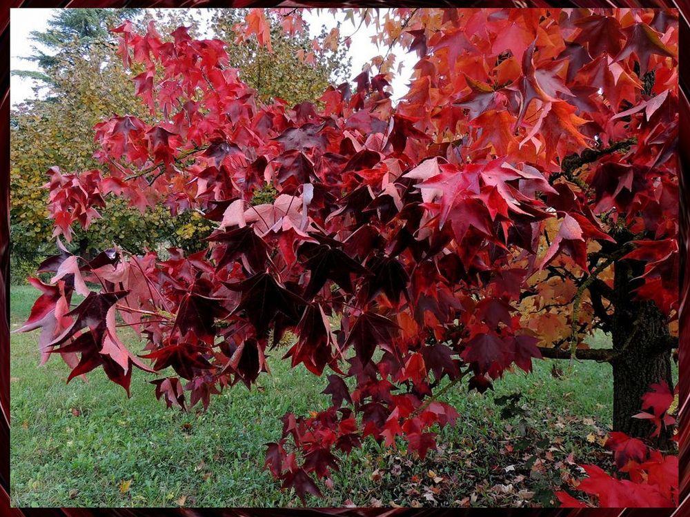 amo queste foglie- liquidambar styraciflua