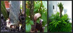 Amorphophallus konjak - Teufelszunge