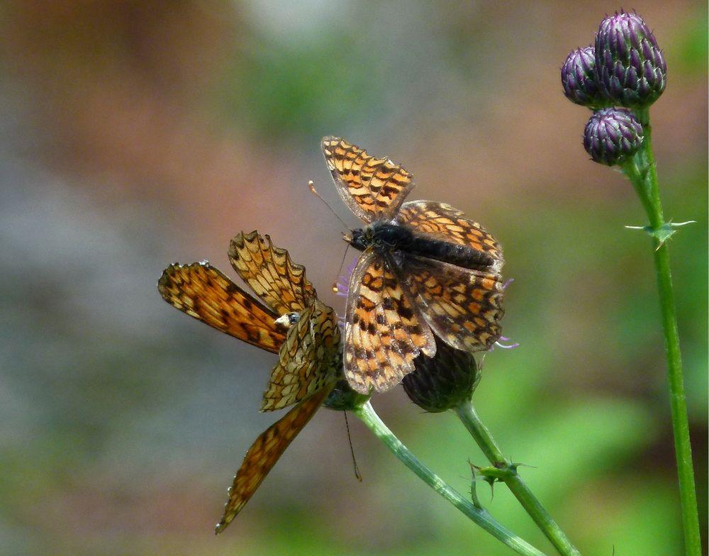 * Amour de papillons *