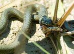 Amphibie trifft Reptil....