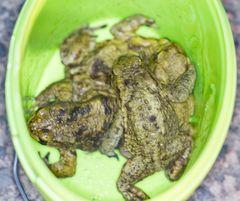 Amphibien-Wanderung Frühjahr 2014