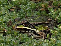 amphibiens 1