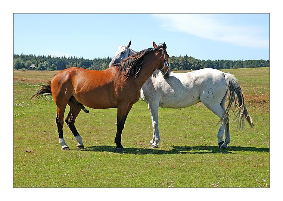Amrum 2004 - Zwei Pferde auf Amrum ...