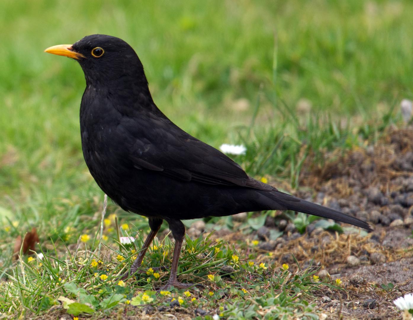 amsel foto  bild  deutschland europe tiere bilder auf