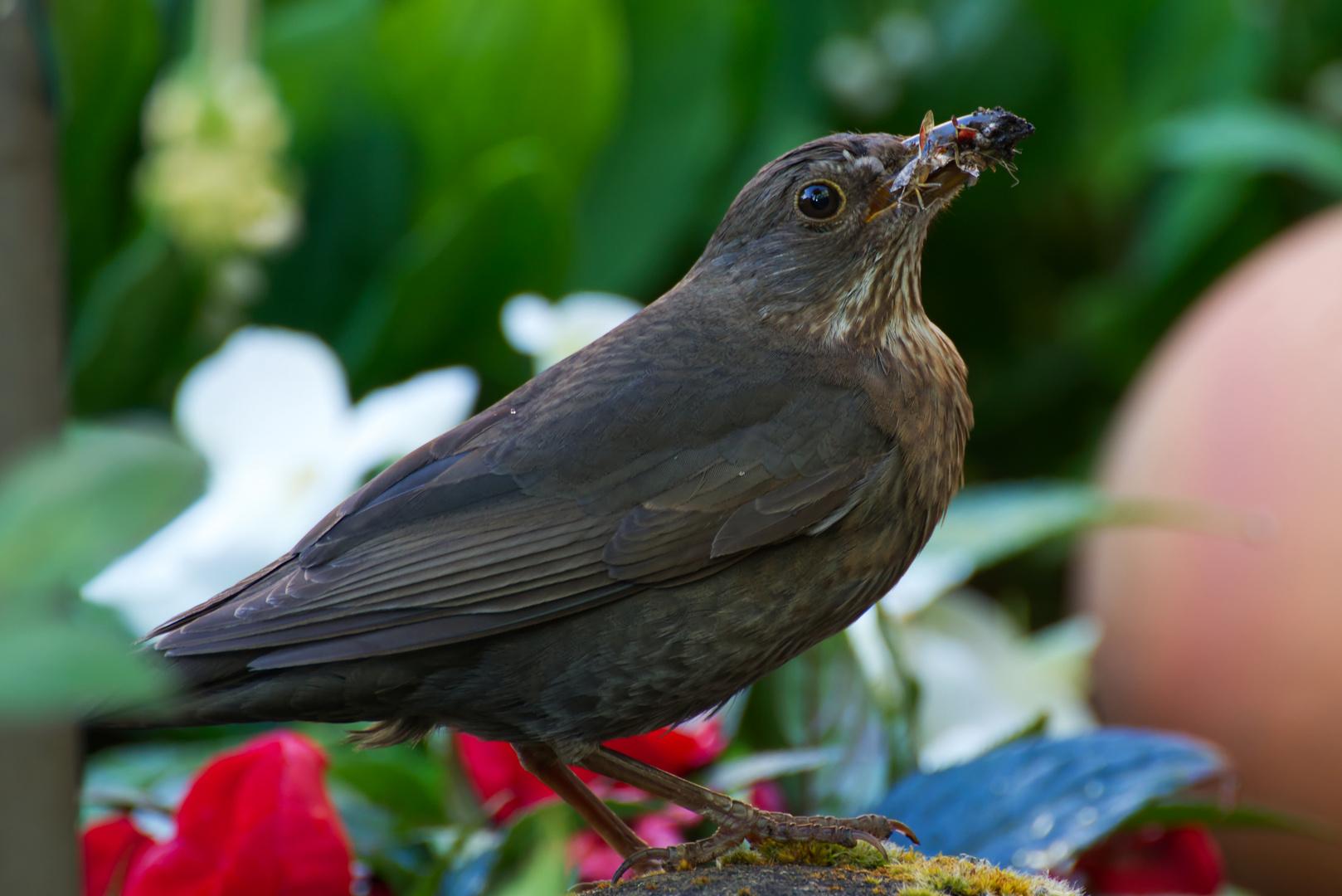 amsel foto  bild  tiere vogel amsel bilder auf