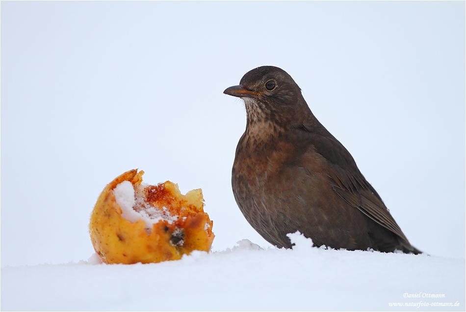 amsel foto  bild  tiere wildlife wild lebende vögel