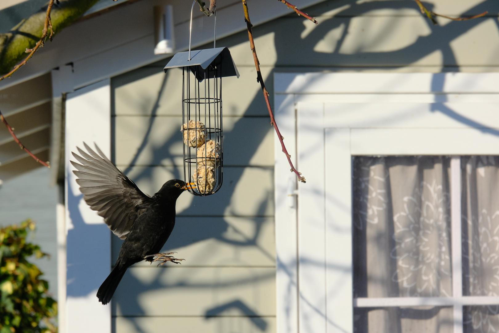 Amsel als Kolibri