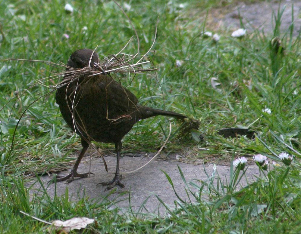 Amsel beim Nestbau