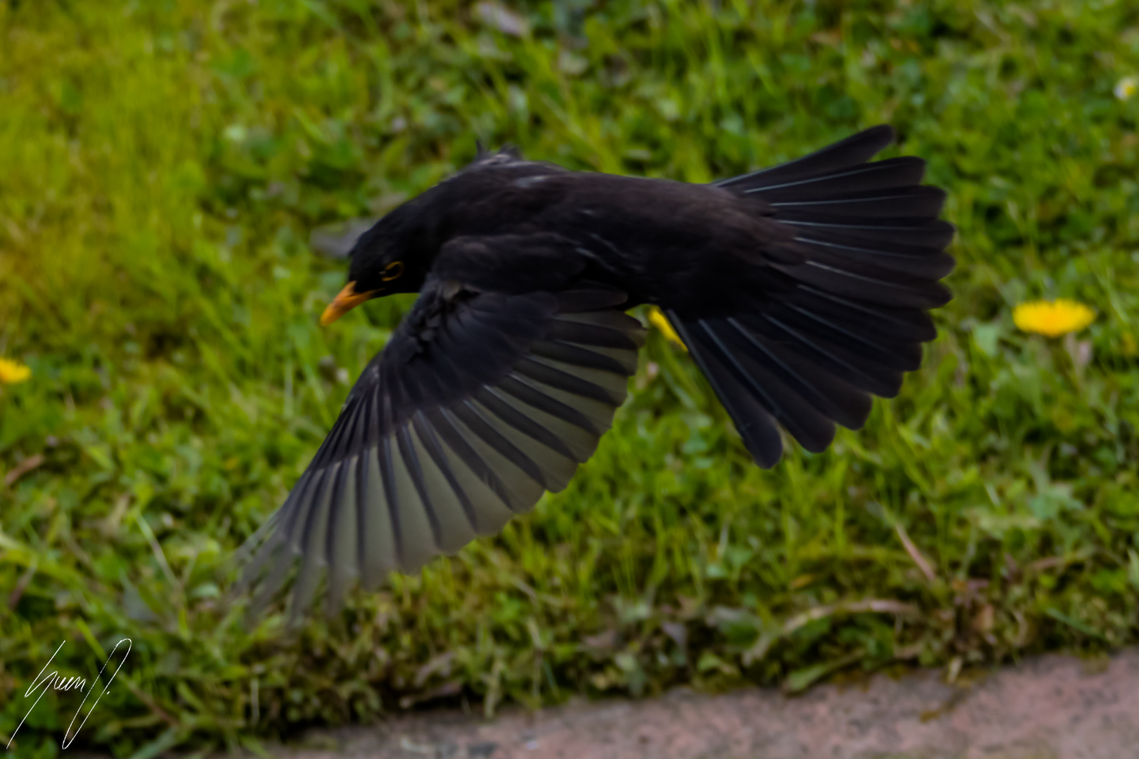 amsel im flug foto bild natur vogel tiere bilder auf. Black Bedroom Furniture Sets. Home Design Ideas