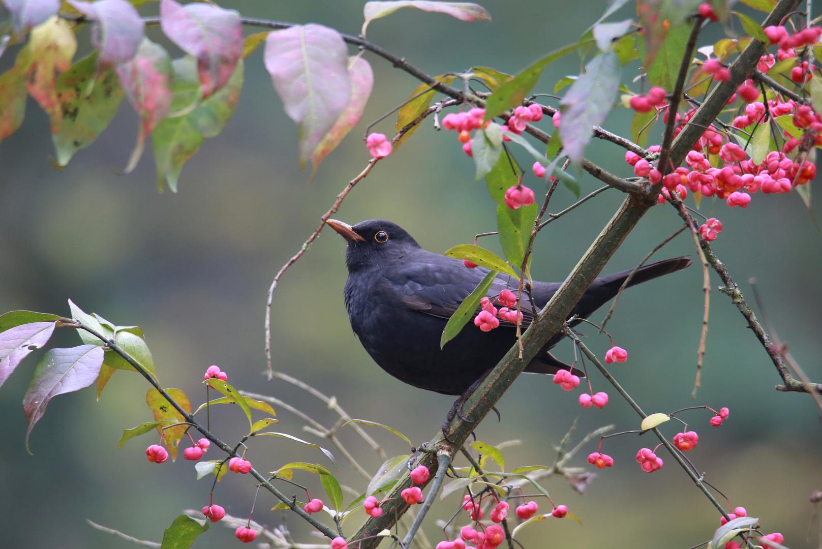 amsel m foto  bild  fotos natur herbst bilder auf