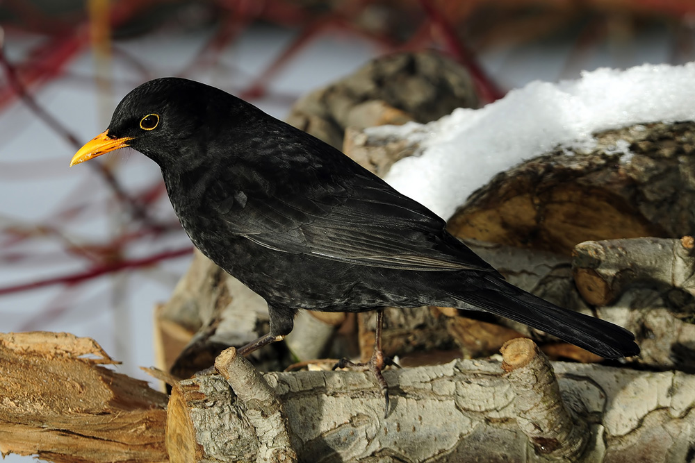 Amsel (Schwarzdrossel) - Männchen