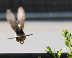 Amsel [Turdus merula] - weiblich - beim Abflug