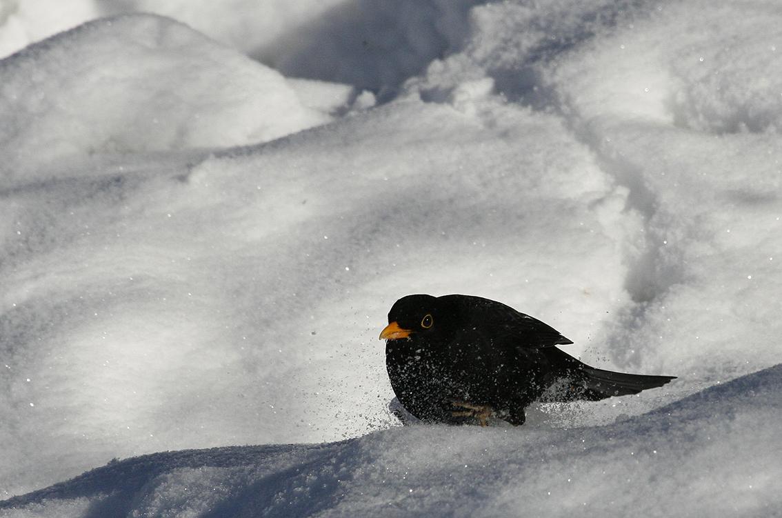 Amselmann im Schnee