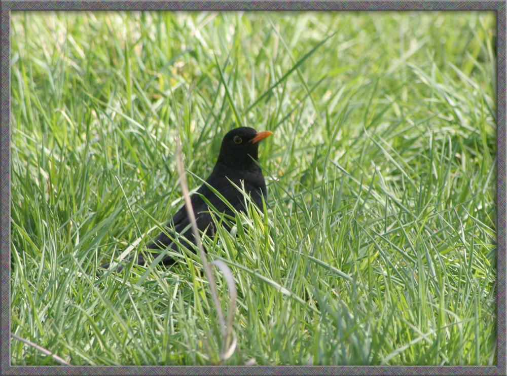 Amselversteck im Gras