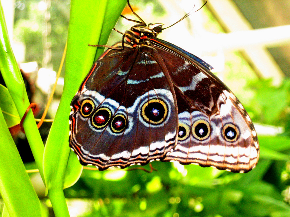 Amsterdam Butterfly
