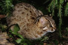 Amur-Katze
