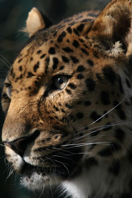 Amur-Leopard im Zoo von Augsburg