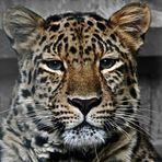 Amur Leopardin Vatne