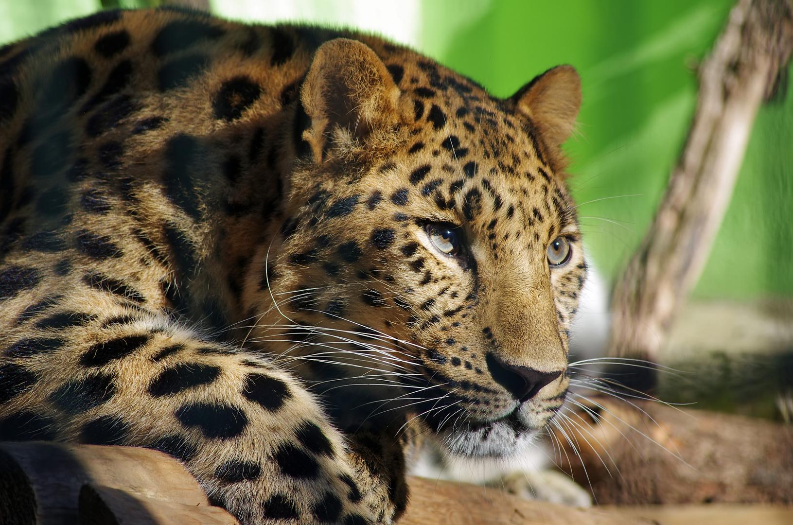 Amurleopard im Sonnenschein