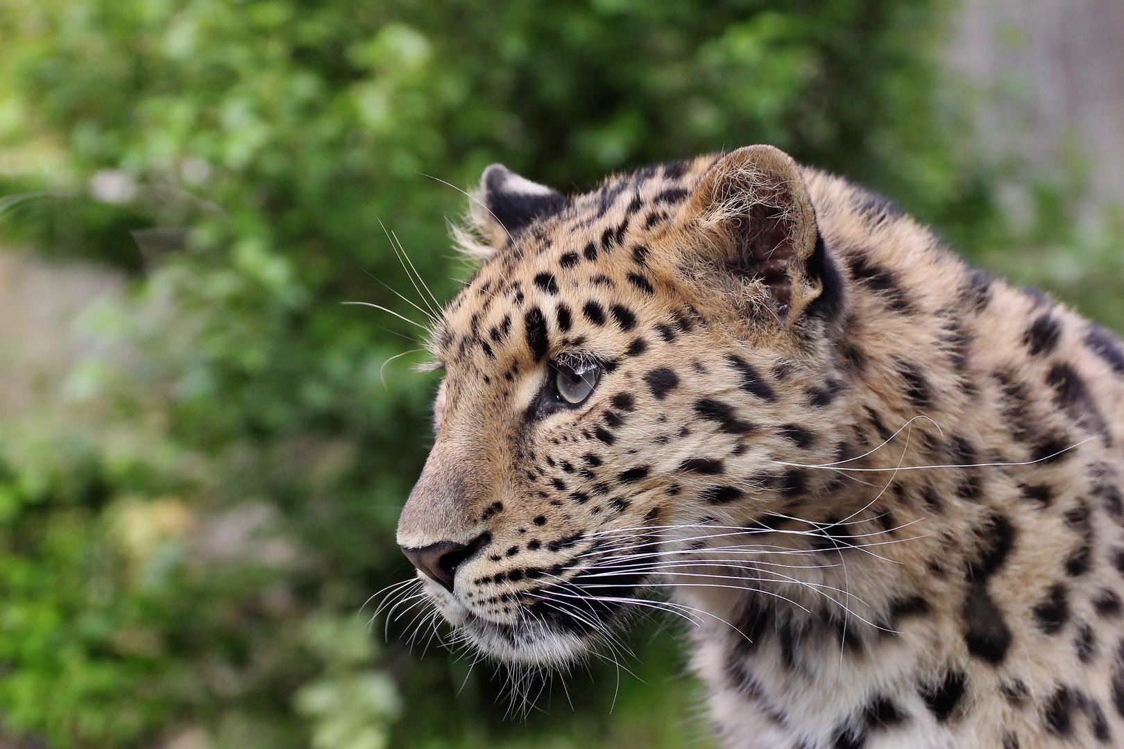 Amurleopard im Zoo Leipzig