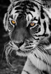 Amurtiger (Dame) ( Panthera tigris altaica oder sibirischer Tiger)