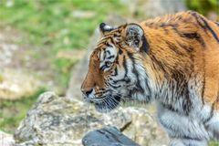 Amurtiger - Panthera tigris altaica