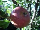 An apple in a little tree..