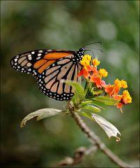 An der Indianer-Seidenpflanze