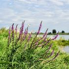 An der Oder bei Reitwein
