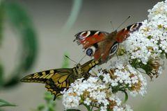 An der Schmetterlings-Snack-Bar...