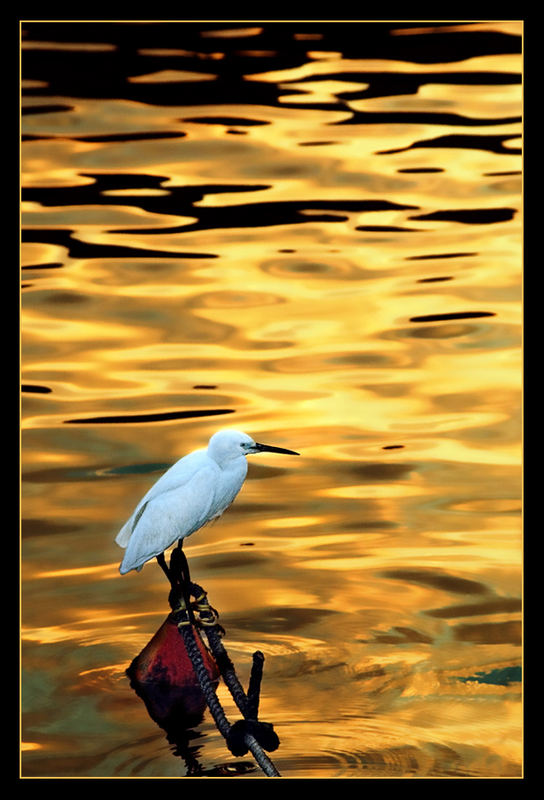 An egret is soaking in the liquid morning gold