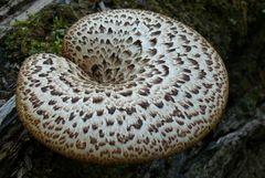 An einem alten Baumstamm entdeckt (Schuppiger Porling - Polyporus squamosus)