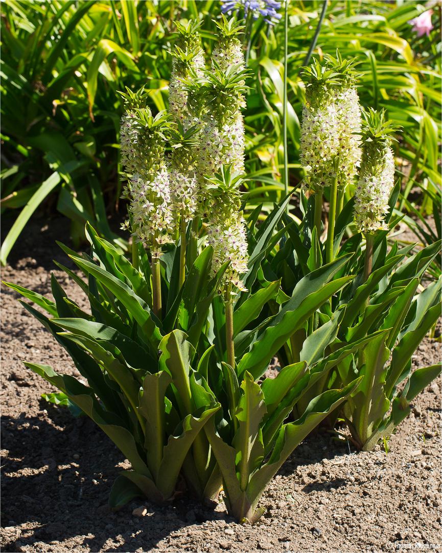 ananasblume (eucomis comosa = eucomis punctata).. foto & bild