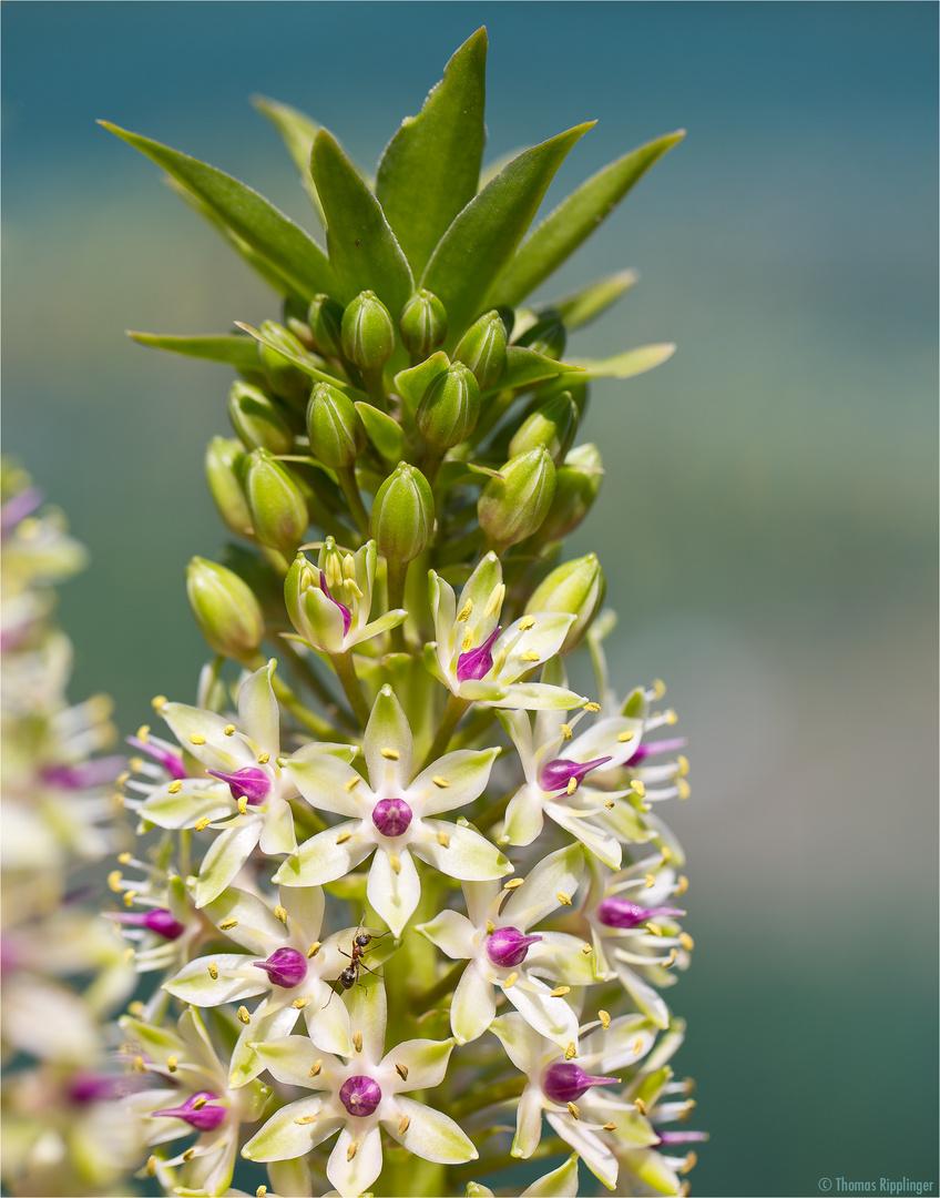 ananasblume (eucomis comosa = eucomis punctata). foto & bild