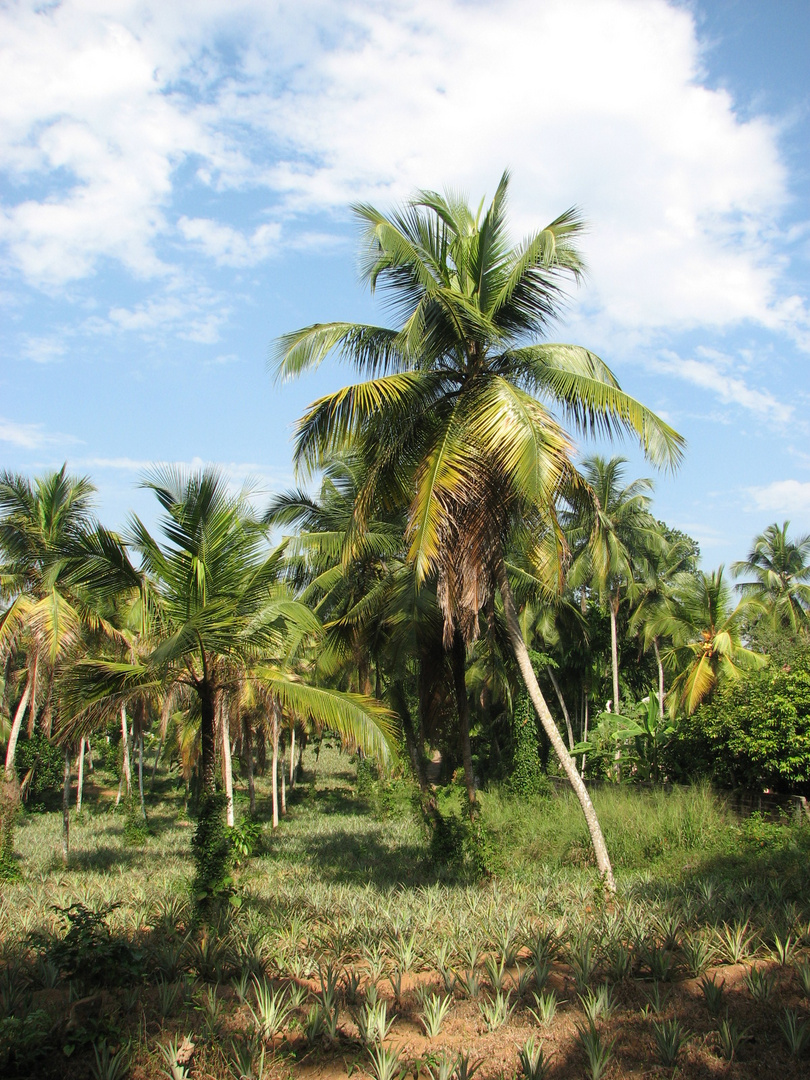 Ananasplantage...