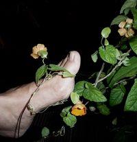 anatolisches Glühwürmchen