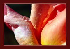 Anatomie d'une rose à l'aube...