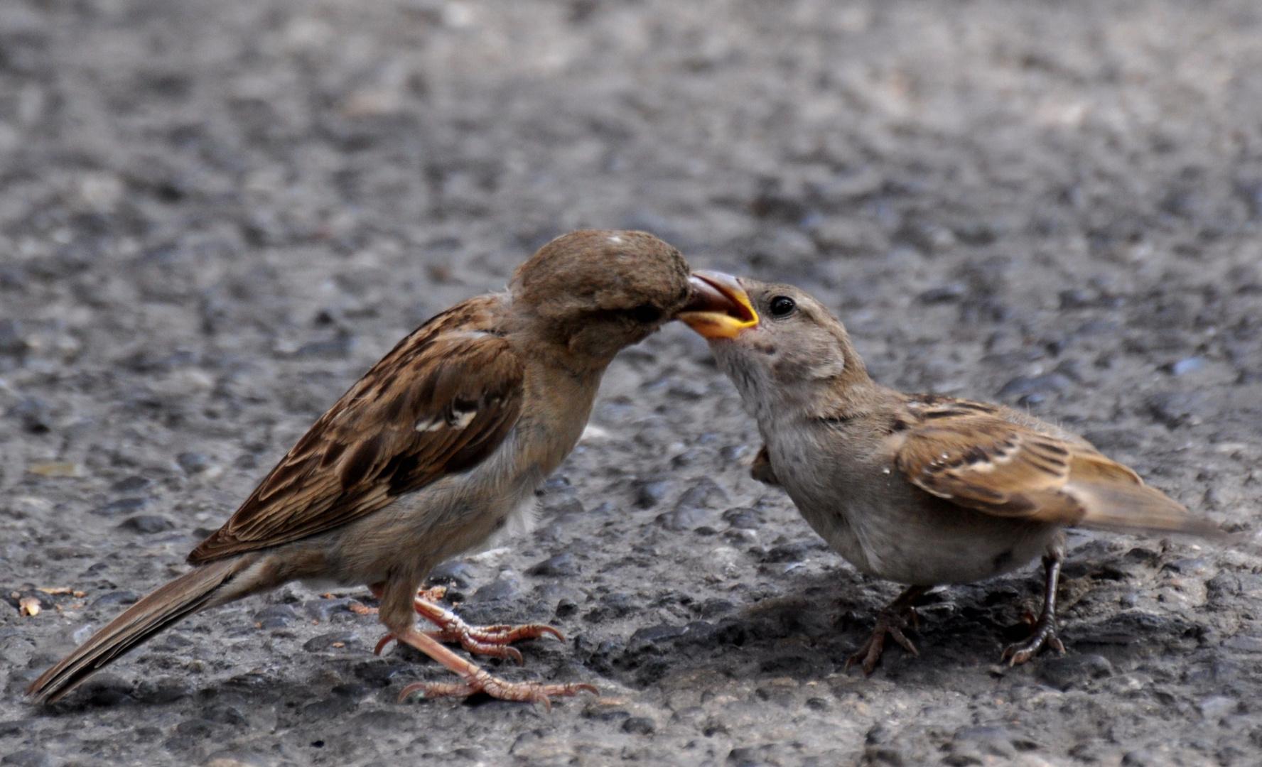 anche i passerotti mangiano